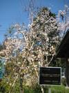 2010年秋に記念植樹の「しだれ桜」.JPGのサムネール画像のサムネール画像