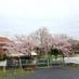 みらい社の桜.jpg