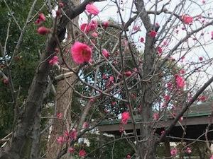 あおぞら園庭の紅梅.jpg